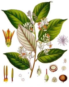 Styrax_benzoin_-_Köhler–s_Medizinal-Pflanzen-133