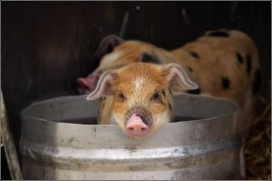 Pig_in_a_bucket