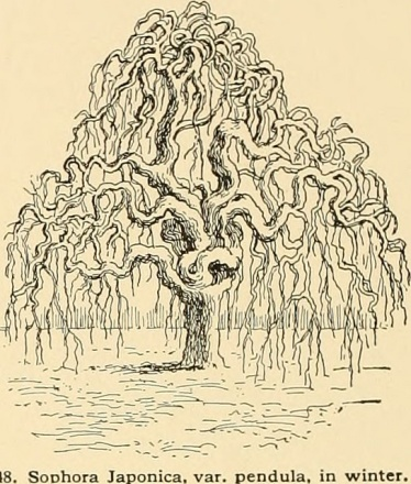 Engraving of Pagoda tree - Sophora Japonica