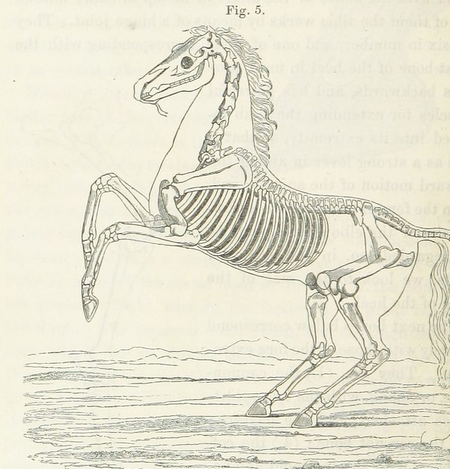 Illustration of a horse skeleton